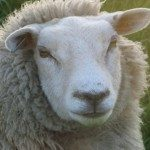 Profile picture of Sheep